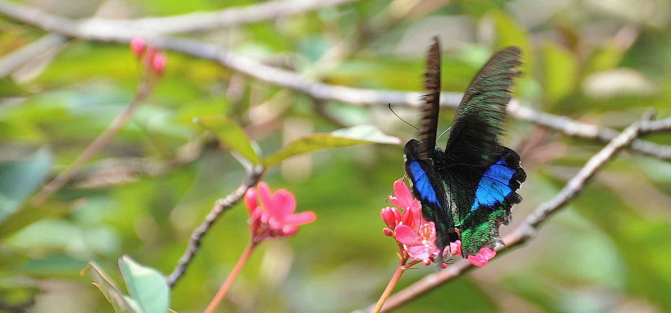 停在花上的蓝色凤蝶桌面壁纸