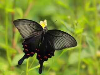 黑色凤蝶高清桌面壁纸
