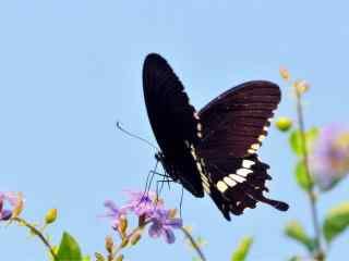 停在鲜花上的唯美凤蝶桌面壁纸