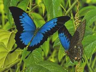 美丽的蓝色凤蝶桌面壁纸