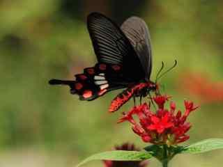 唯美的红腹凤蝶桌面壁纸