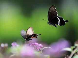 两只黑色凤蝶桌面壁纸