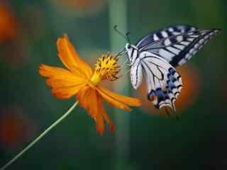 安静唯美的凤蝶桌面壁纸