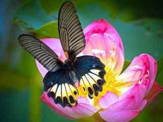 唯美的凤蝶摄影桌面壁纸