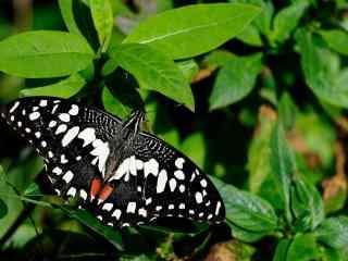 美丽的黑色凤蝶桌面壁纸