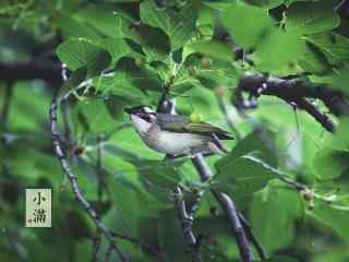 2017年小满节气鸟儿动物壁纸