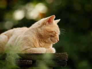 呆萌的猫咪睡觉桌