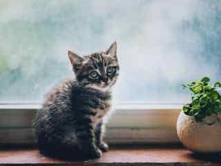可爱的美短小奶猫桌面壁纸