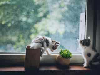 两只白色小奶猫桌