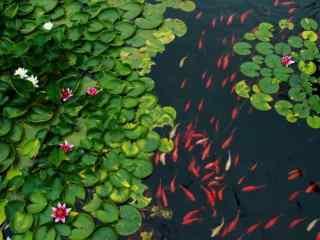 荷塘锦鲤唯美场景壁纸