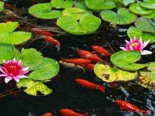 唯美的荷塘锦鲤高清桌面壁纸