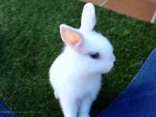 可爱的白色小兔子桌面壁纸