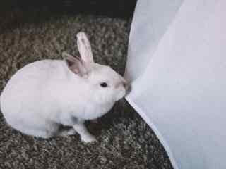 白色小兔子咬床单桌面壁纸