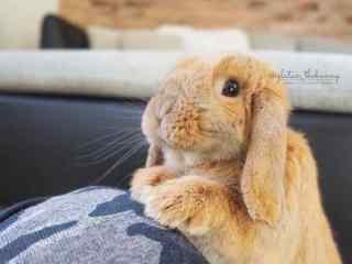 呆萌直立的小兔子