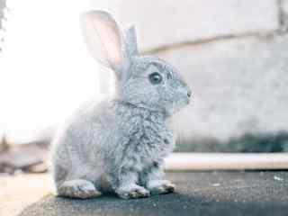 萌萌哒灰色小兔子可爱壁纸
