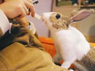 萌萌哒吃东西的小兔子壁纸