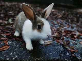 软萌可爱的小兔子桌面壁纸