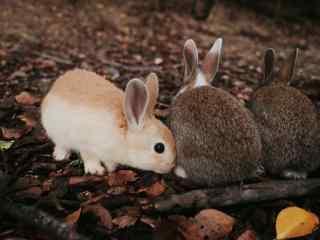 三只可爱的小兔子桌面壁纸