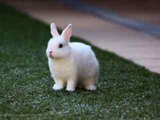 草地上可爱的小兔