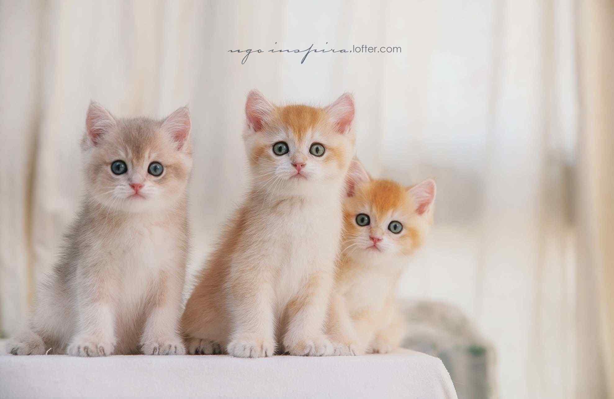 三只可爱的短毛猫咪桌面壁纸