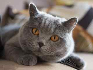 微微皱眉的英短猫咪桌面壁纸