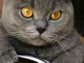 假装自己很凶的英短猫咪桌面壁纸