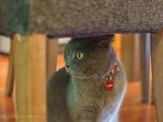 躲在凳子下的短猫猫咪桌面壁纸