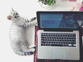 电脑旁安静睡觉的美短猫咪桌面壁纸