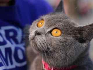 可爱软萌的英短猫咪桌面壁纸
