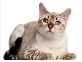 安静的美短小猫咪桌面壁纸