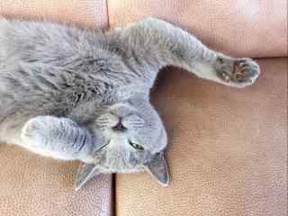 慵懒的英国短毛猫桌面壁纸