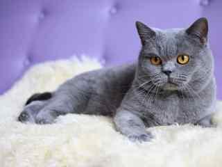 霸气坐姿的英短猫咪桌面壁纸