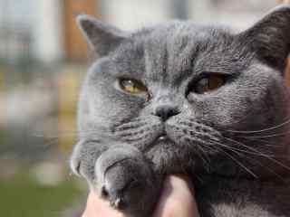 凶凶的英短猫咪桌面壁纸
