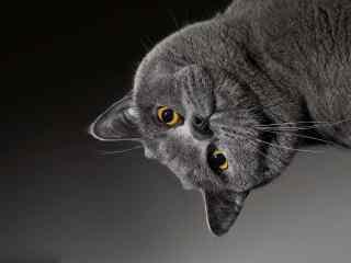搞怪捣蛋的英短猫咪桌面壁纸