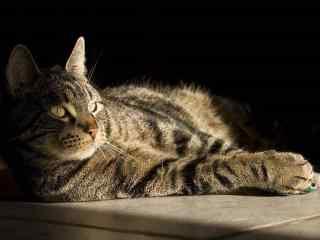 可爱迷人的美短猫咪桌面壁纸