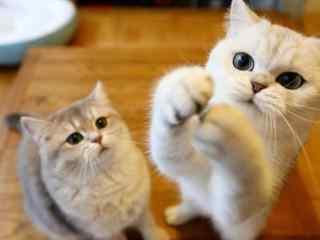 两只可爱呆萌的短毛猫桌面壁纸