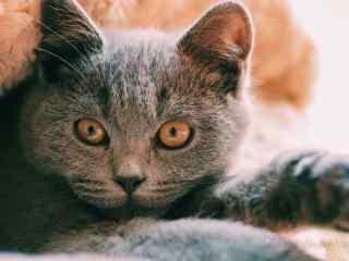 帅气的英短猫咪桌面壁纸