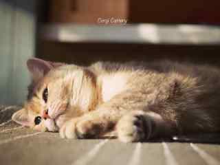 可爱慵懒的短毛猫咪桌面壁纸