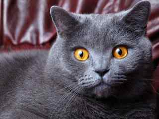 目瞪口呆的英短猫咪桌面壁纸
