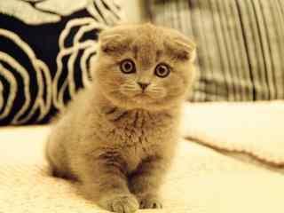 伤心皱眉的英短猫咪桌面壁纸