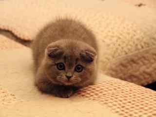 可怜巴巴的英短猫咪桌面壁纸