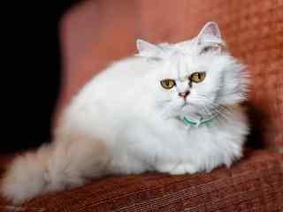 软萌可爱的波斯猫桌面壁纸
