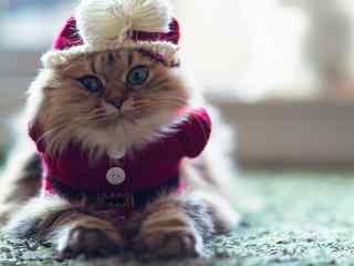 穿着可爱小衣服的波斯猫桌面壁纸