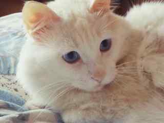 可爱呆萌的波斯猫桌面壁纸