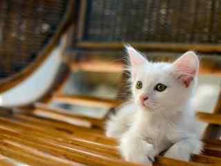 可爱迷人的波斯猫桌面壁纸