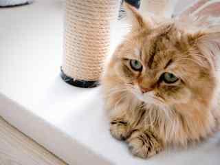 委屈可怜的波斯猫桌面壁纸