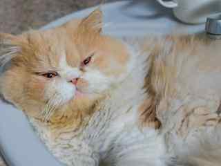 睡眼朦胧的波斯猫桌面壁纸