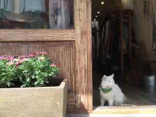 午后街角的波斯猫桌面壁纸
