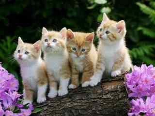 一群可爱呆萌的波斯猫桌面壁纸