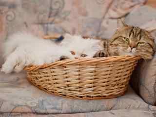两只可爱的小猫咪窝在篮子里桌面壁纸